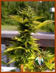 revolver (Watcher1999) Tags: revolver autoflowering marijuana seeds cannabis california medical bob marley growing weed smoking ganja legalize it reggae kush strains strain buds