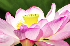 Ready for my closeup (dK.i photography) Tags: lotus macro closeup nature flower summer outdoors green pink yellow washingtondc kenilworthaquaticgardens watercolor prime 400mm