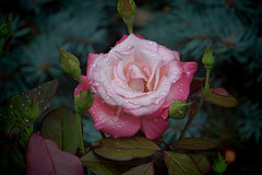 Pink and White Rose (Brian 104) Tags: rose flower pink white raindrops