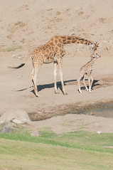 Baby Giraffe Born Today at 230pm. (LisaDiazPhotos) Tags: lisadiazphotos sdzsp sandiegozoo sandiegozooglobal sandiegozoosafaripark sdzsafaripark sdzoo sdz baby giraffe born today 230pm