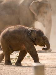 Hagenbeck 02.jpg (vossemer) Tags: hamburg orte städte hagenbeckstierpark jungtier elefanten hamburgfreieundhansestadt tiere natur deutschland de