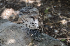 Tawny Frogmouth (Black Rock Photo) Tags: bird australia cairns queensland frogmouth tawnyfrogmouth podargusstrigoides