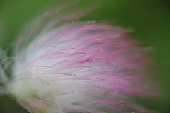 Powder puff tree macro (SharonCat...) Tags: xt2 fuji pink flowers garden fairy puff trees powderpuff