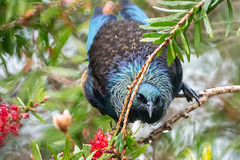Lookin at You (fate atc) Tags: auckland meliphadidae northshore passeriformes tree tui agile boisterous forestandsuburbia mediumsized nectarfeeder songbird territorial