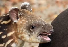 South american tapir Artis JN6A0896 (j.a.kok) Tags: tapir southamerica southamericantapir zuidamerika zuidamerikaansetapir animal artis mammal zoogdier dier herbivore babytapir