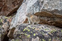 980A7270.jpg (brooker_steve) Tags: pika yellowstone wildlife nature rodent beartoothmountains
