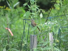 Wren In The Tomatoes (amyboemig) Tags: bird august summer songbird house wren housewren tomatoes garden supports