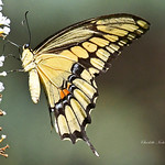 Giant Swallowtail Butterfly thumbnail