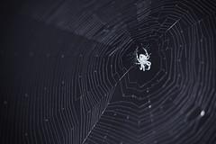 Prospect Spider BW (K. McMahon) Tags: beverly blackandwhite chicago creepy illinois night orbweaver southside spider spiderweb web