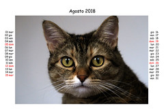 August 2018 (Alfredo Liverani) Tags: canong5x canon g5x pointandshoot point shoot ps flickrdigital flickr digital camera cameras europa europe italia italy italien italie emiliaromagna romagna faenza faventia faience animal kitten gatto gatta gatti gatte cat cats chats chat katze katzen gato gatos pet pets tabby furry kitty moggy moggies gattino animale ininterni animaledomestico aliceellen alice ellen calendario calendar kalender odcnowords nowords odc