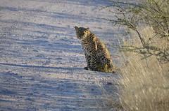 DSC_5506 (Andrew Nakamura) Tags: namibia africa chameleonsafaris etosha etoshanationalpark animal wildlife mammal bigcat felid felidae leopard africanleopard
