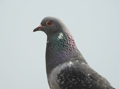 Pigeon (Simply Sharon !) Tags: pigeon bird wildlife britishwildlife nature