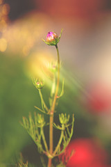 The Waiting Bud... (KissThePixel) Tags: bud flower cosmos summer sunlight light sun sunshine rays sunbeam august bokeh colour colours garden macro bokehlicious dancing nikon nikond750 flowers