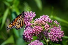 Monarch Butterfly (Eric Tischler) Tags: butterfly monarch flowers wild green