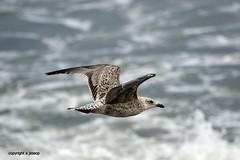 J78A1838 (M0JRA) Tags: birds gulls sea waves flight flying wildlife rats walks gardens parks fields trees lakes ponds ducks swans rspb