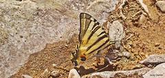 Flambé (jacky.dartier) Tags: papillon