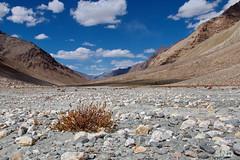 небогатая занскарская растительность (snd2312) Tags: zanskar india kashmir ladakh himalayas