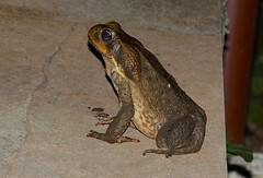 Giant Neotropical / Cane Toad --- Rhinella marina (creaturesnapper) Tags: sarapiqui costarica toads amphibians giantneotropicaltoad canetoad rhinellamarina