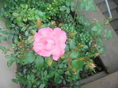 323 (en-ri) Tags: rosa rose sony sonysti verde foglie leaves bush cespuglio