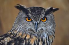 Hector (anthony.dyke1) Tags: birds eagle birdsofprey