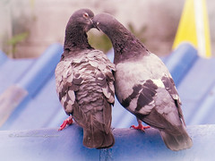 Kiss you like crazy (stormymayen) Tags: pigeons kissing frenchkiss rooftop