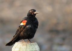 RWBL Odd One (Kelly Preheim) Tags: redwinged blackbird south dakota birds