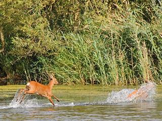 Roe deer after a bath