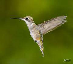 Ruby-throated Hummingbird (jt893x) Tags: 150600mm archilochuscolubris bif bird breeding d500 hummingbird jt893x nikon nikond500 rubythroatedhummingbird sigma sigma150600mmf563dgoshsms coth alittlebeauty thesunshinegroup coth5 sunrays5 ngc npc