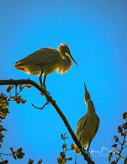 Egrets (Jeffrey Balfus (thx for 2 Million views)) Tags: birds sony100400mm sonya9mirrorless sonyilce9 sonyalpha ergrets fullframe mountainview california unitedstates us sony a9 mirrorless thegalaxy