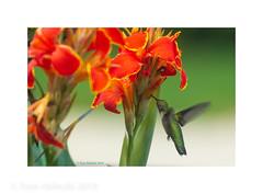 Hummingbird at Canna Lily (tomh2m) Tags: hummingbird animal nature bird flower wing green wildlife fly nectar beak small feeding flight action eating colorful tiny orange bloom birdflying hummingbirdflying summer