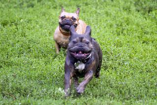 Pug/bulldog at Trinity-Bellwoods Park #9