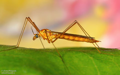 Crane fly (salmoteb@rogers.com) Tags: wild outdoor nature crane fly toronto ontario canada closeup macro 105mm insect leaf color