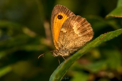Myrtil (David Bertholle) Tags: papillon myrtil d7200 dof bokeh nature butterfly beaujolais orange macro makro ngc sigma
