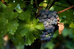 IMG_9251 (Bartek Rozanski) Tags: dolenjska pleterje slovenia grape wine vineyard vine slovenian
