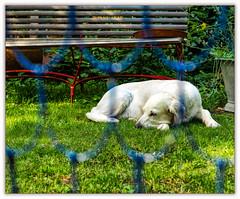 Watchdog? Give Me a Break! (Silke Klimesch) Tags: hff 7dwf fauna happyfencefriday fencefriday fence dog puppy sleeping nap grass bench notawatchdog zaun hund welpe keinwachhund bank gras nickerchen clôture recinto cerca saepes gærde hegn hek aita płot gjerde staket girðing gard φράχτησ çit забор 栅栏 chien chiot cane cucciolo perro cão cachorro câine cățeluș pas štene pies szczenię σκύλοσ köpek собака щенок olympus omd em5markii mzuikodigital45mm118 microfourthirds smileonsaturday uniflona