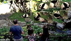 Bei Bei (Hiya visitors! I'd share my treats with ya but ya know, I'm still a growin' cubbie.) 2018-08-14 at 8.37.43 AM (MyFoto:)) Tags: ccncby panda cub endangered vulnerable beibei smithsonian nationalzoo eating sack sugarcane