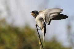 Juvenile Swallow (Hirundo rustica) (Fly~catcher) Tags: swallow juvenile hirundo rustica branch stick sky bird wing feathers
