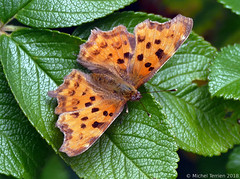 Robert-le-diable (Polygonia c-album) (zogt2000 (No Video)) Tags: robertlediable papillon butterfly jardin garden