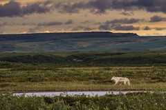 Wolf in the summer tundra-1270515red2 (Mathieu Dumond) Tags: canada arctic nunavut kugluktuk summer august tundra cloudy windy sky nature wildlife animal carnivores wolf loup lupus canis mathieudumond umingmakproductions