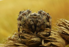 Araneus Diadematus..x (Lisa@Lethen) Tags: araneus diadematus common garden spider nature macro wildlife insect field outdoor eyes hairs legs