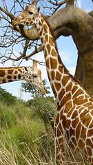 Descargar Fondos de pantallas Jirafa gratis (descargarfondosdepantalla) Tags: fondos de pantallas jirafa