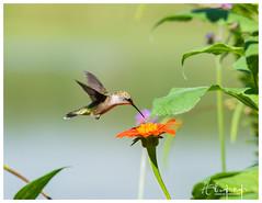 Breakfast Time (vainapur) Tags: hummingbird humminng breakfast summer bird birds beak shutterspped zip fast light nature colors ornithology leaves leaf flowers flower hum timing