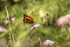 kelebek (s_gulfidan) Tags: butterfly painterly watercolor 200faves digitalartpainting