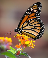 Monarch butterfly (Mark Chandler Photography) Tags: 7dmarkii ga georgia markchandler nature powdersprings bokeh butterflies butterfly canon color colour flora insect latana mariposa monarch photo photography stock