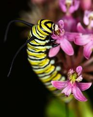 DSC_2424=072918MCat (laurie.mccarty) Tags: caterpillar nature night insect nikon macro monarchcaterpillar