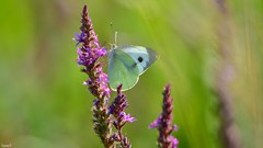 Butterfly - 5669 (ΨᗩSᗰIᘉᗴ HᗴᘉS +20 000 000 thx) Tags: butterfly flower nature green papillon belgium europa aaa namuroise look photo friends be wow yasminehens interest intersting eu fr greatphotographers lanamuroise tellmeastory flickering