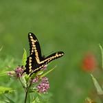 Giant Swallowtail (Papilio cresphontes) nectering from Asclepias incarnata thumbnail