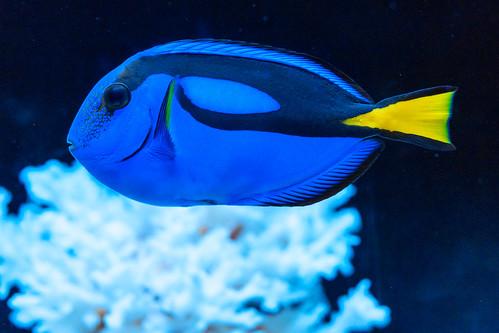 Blue tang (Paracanthurus hepatusa) of Sumida Aquarium in Tokyo Sky Tree Town : ナンヨウハギ(東京スカイツリータウン・すみだ水族館)