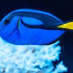 Blue tang (Paracanthurus hepatusa) of Sumida Aquarium in Tokyo Sky Tree Town : ナンヨウハギ(東京スカイツリータウン・すみだ水族館) thumbnail