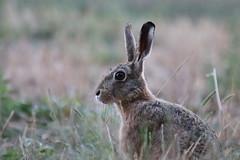 Lièvre (Ab.david) Tags: lapin lièvre animal champ forêt canon eos 77d tamron 70300 nature